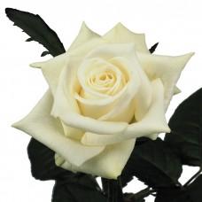 Российская роза белая