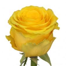 Российская роза желтая