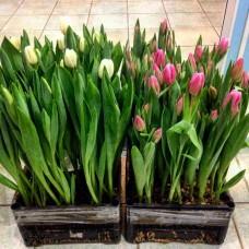 Тюльпаны в луковицах