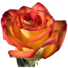 Акция!Премиум Эквадорская роза дня!