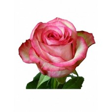 "Премиум роза ""Карусель"""