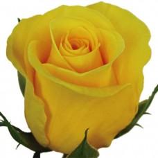 Желтая роза эквадорская