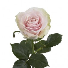 Премиум роза Пинк Мондиал