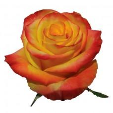 """Премиум роза """"Хай Йеллоу"""""""