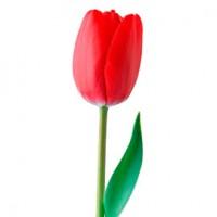 Легенда о тюльпане | Долина Роз
