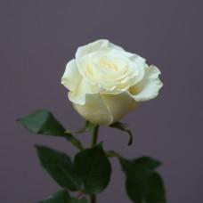 """Купить белую розу """"Мондиаль"""""""