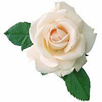 Белые розы - источник вдохновения | Долина Роз
