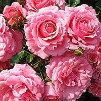Розы в мире дизайна | Долина Роз