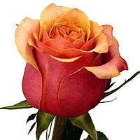Розы Черри Бренди | Долина Роз
