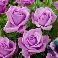 Делайте первый шаг - дарите цветы | Долина роз