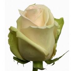 Купить кремовую премиум розу