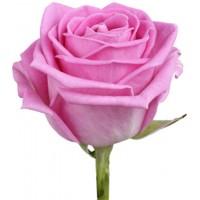 Российская роза розовая