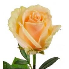 Кремовая Премиум роза