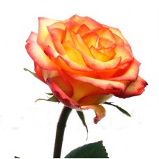 Роза Премиум Хай Меджик