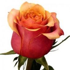 "Премиум роза ""Черри Бренди"""