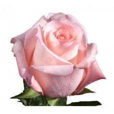"""Премиум роза """"Энгажемент"""""""