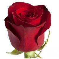 Роза Премиум Эквадорская, красная
