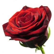 Российская роза красная