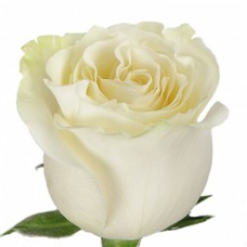 Премиум роза  Мондиал белая