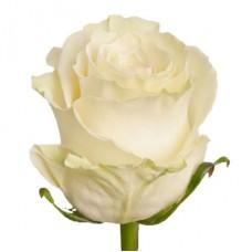 "Роза Премиум белая ""Мондиал"""