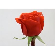 Роза Премиум Нина