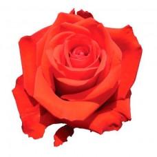 """Премиум роза """"Нина"""""""