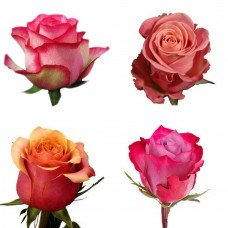Акция! Эквадорская роза дня