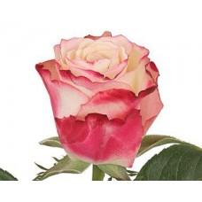 Роза Премиум Свитнесс